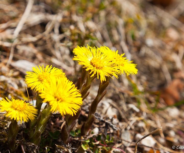 De la munte - flori de primavara