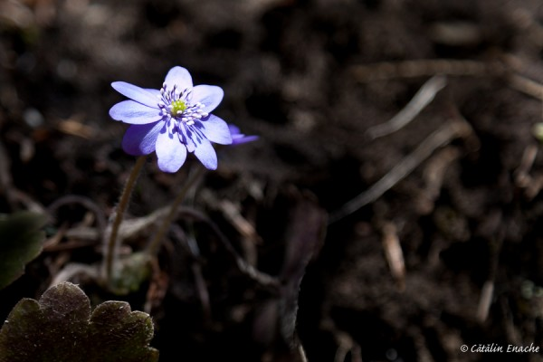 De la munte – flori de primavara   Fotografie de natura   Catalin Enache