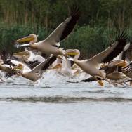 In Delta Dunarii – dupa pasari - colonie pelicani