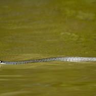 In Delta Dunarii – dupa pasari - sarpe de apa
