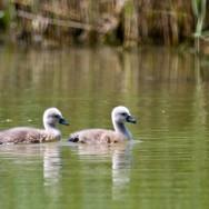 In Delta Dunarii – dupa pasari - pui de lebada