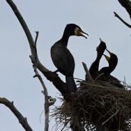 In Delta Dunarii - dupa pasari - cormorani