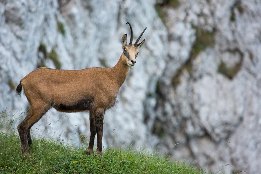 La capre negre in Poiana Inchisa - Piatra Craiului